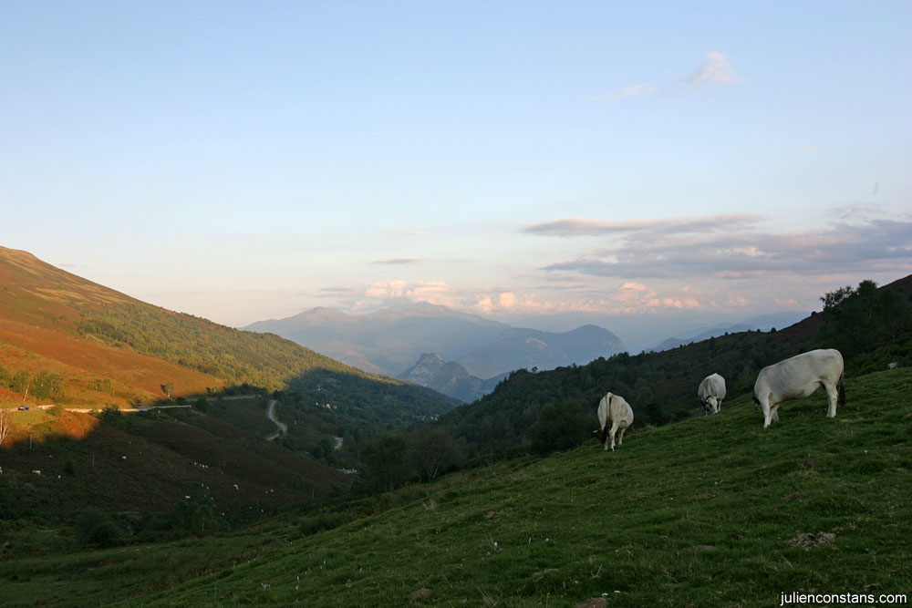 Cows at the top of Col de Port